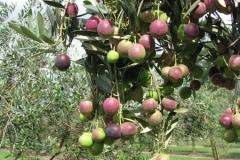 shalumar-hunter-valley-olives-australia