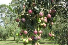 shalumar-olive-grove-hunter-valley