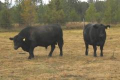 cattle-grazing-at-shalumar-hunter-valley