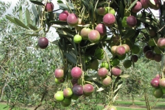 locally-grown-olives-products-hunter-valley