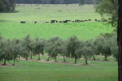 olive-oil-grove-hunter-valley-shalumar