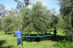olive-oil-harvested-in-hunter-valley-shalumar