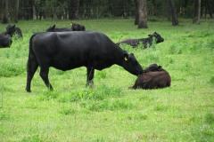 shalumar-olive-grove-grazing-cattle