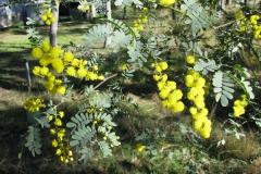 shalumar-olive-grove-wattle-plants
