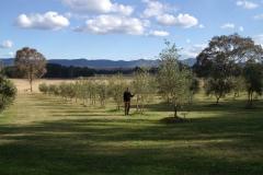shalumar-olive-oil-grove