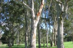 trees-hunter-valley-at-shalumar-olive-grove